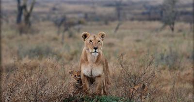 a primeira leonina